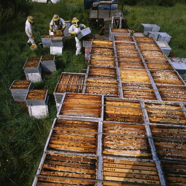 A team of beekeepers unloaded frame-filled boxes where bees stash their surplus honey in Minnesota. [תמונת היום - מאי 2011]