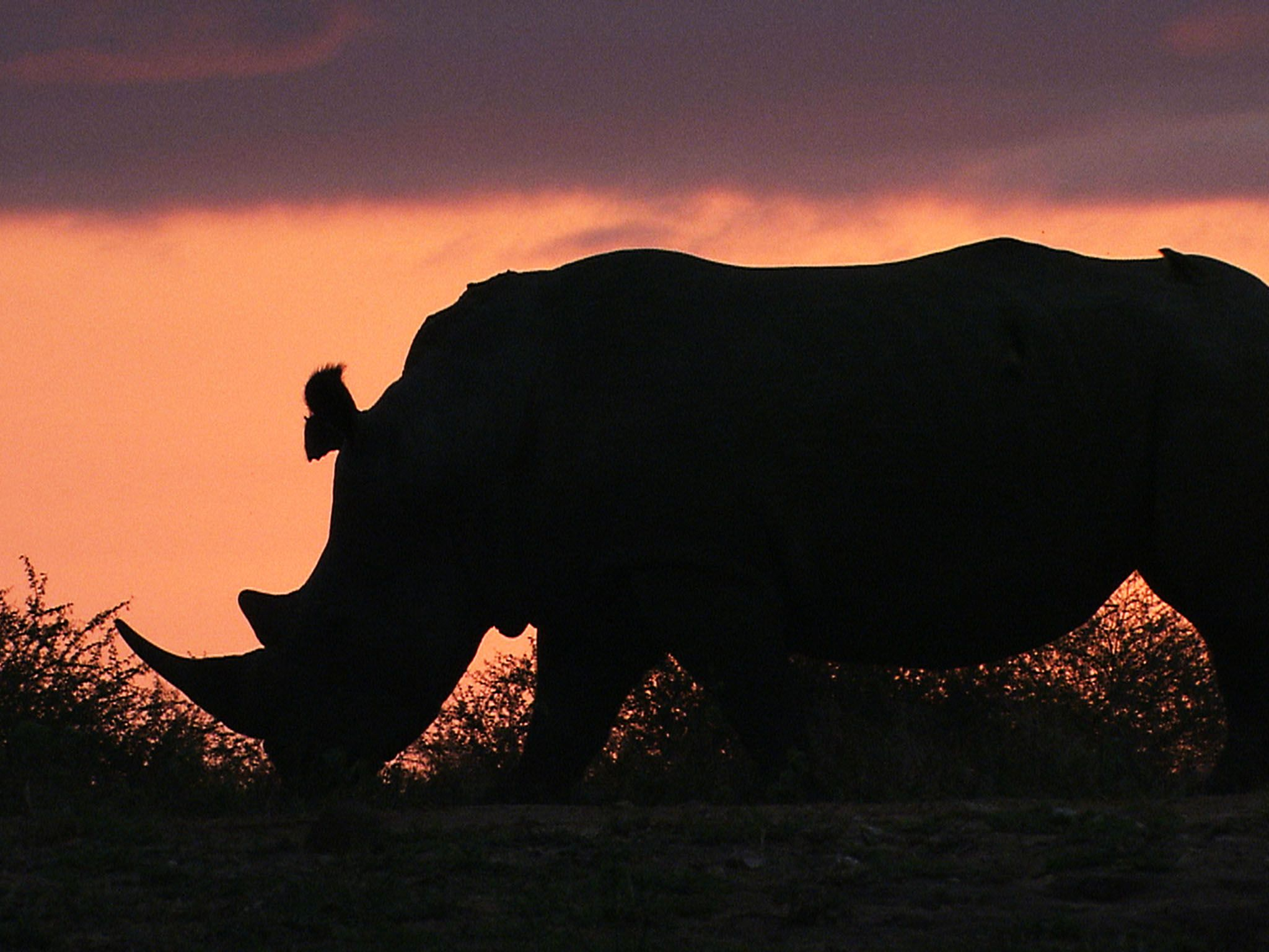 Africa: Rhino at sunset. This image is from Africa's eadliest [Photo of the day - August 2015]