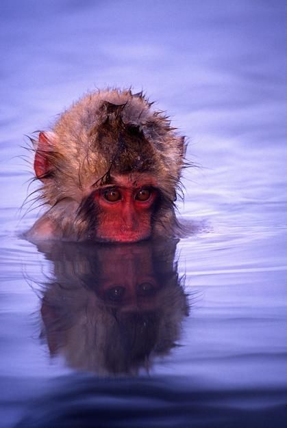 Baby Japanese Macaque bathing in natural hot springs, Honshu Island. [  -  2011]