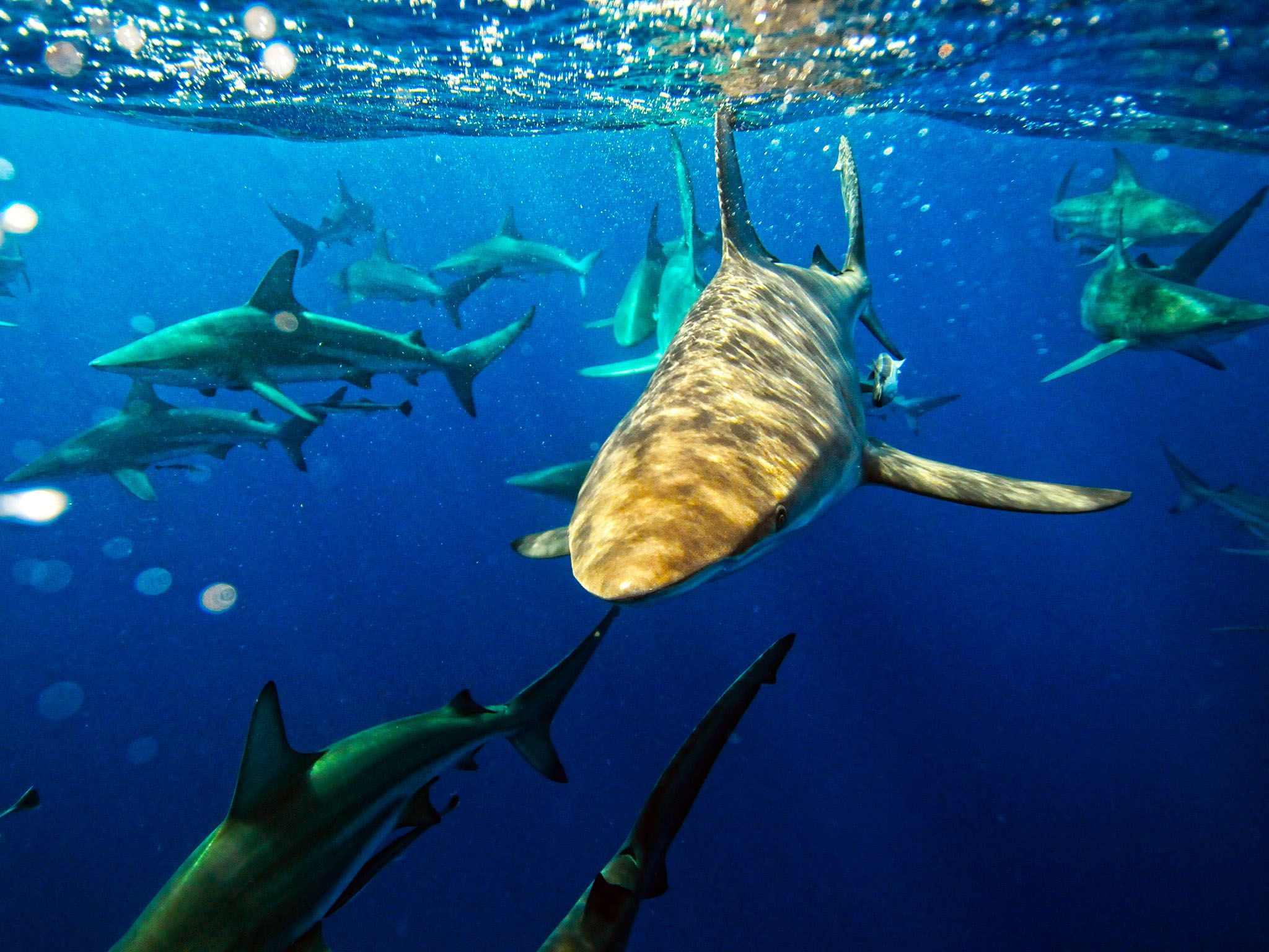 South Africa: Group of Black Tip Sharks swimming just beneath the water's surface. This image is... [Photo of the day - August 2015]