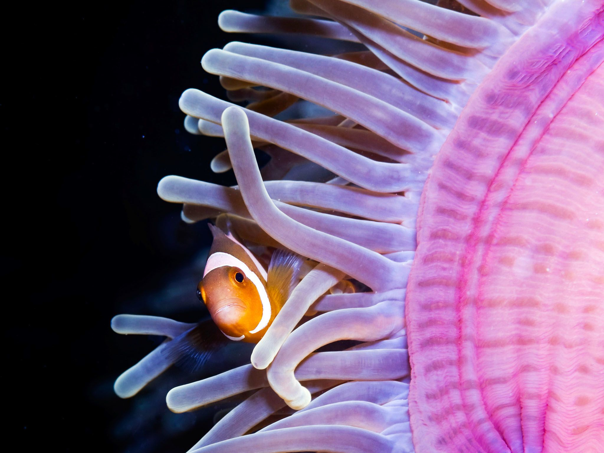 Clownfish bunker down among the venomous tentacles of the sea anemone. This image is from... [Photo of the day - August 2015]