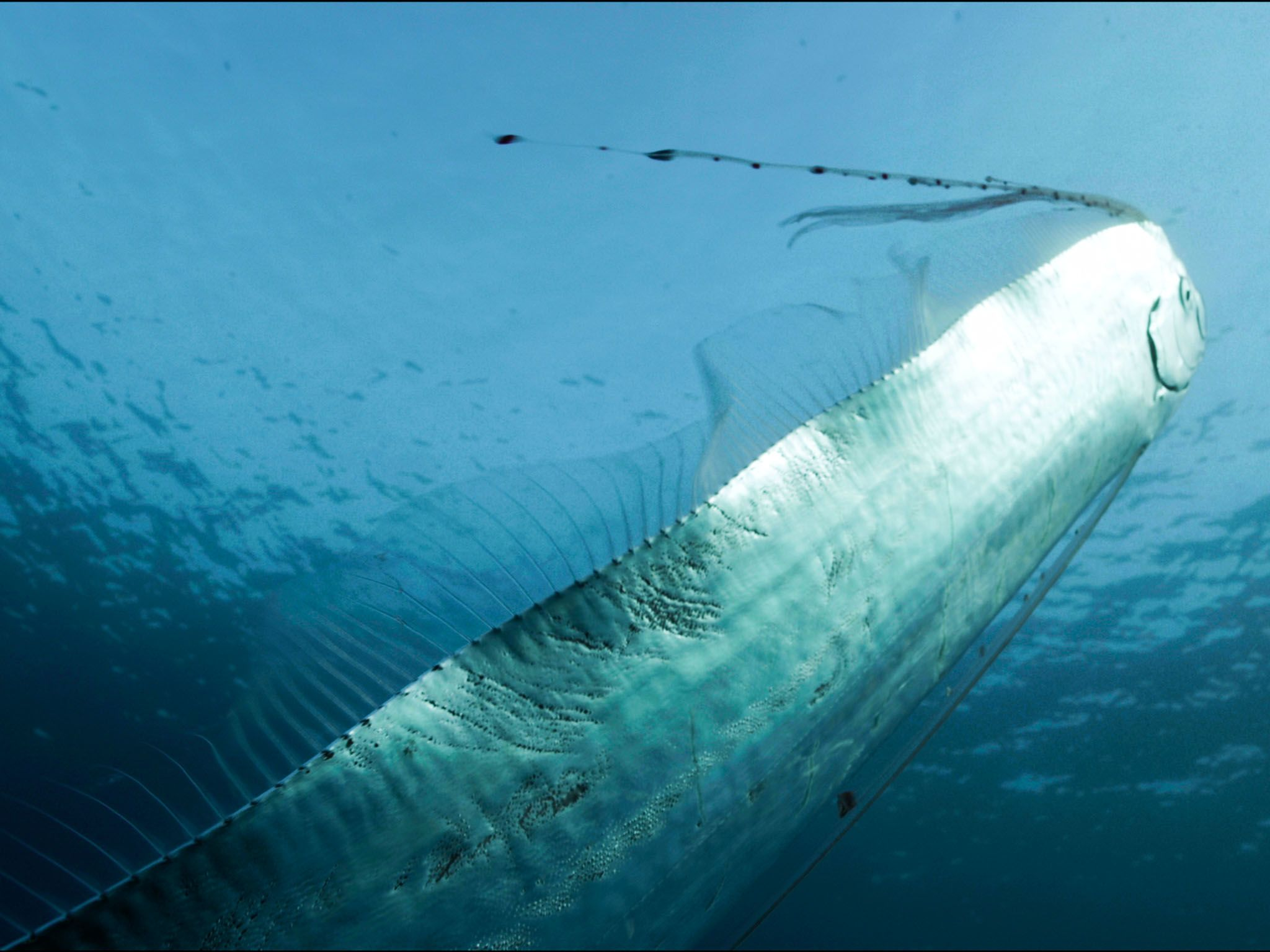 Mediterranean Sea, South of France: Giant Oarfish swimming in a vertical position towards the... [Photo of the day - August 2015]