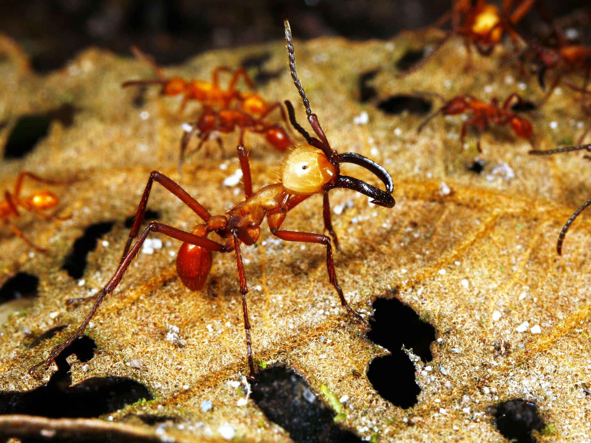 Army ants are blind, yet they are the great marauders of the new world jungles. How do they work... [Photo of the day - August 2015]