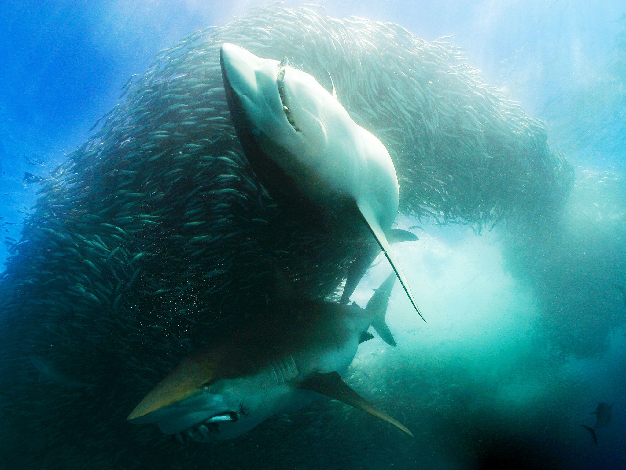 South Africa: Underwater scene of two Great White sharks with sardines in their mouths circling... [Photo of the day - August 2015]