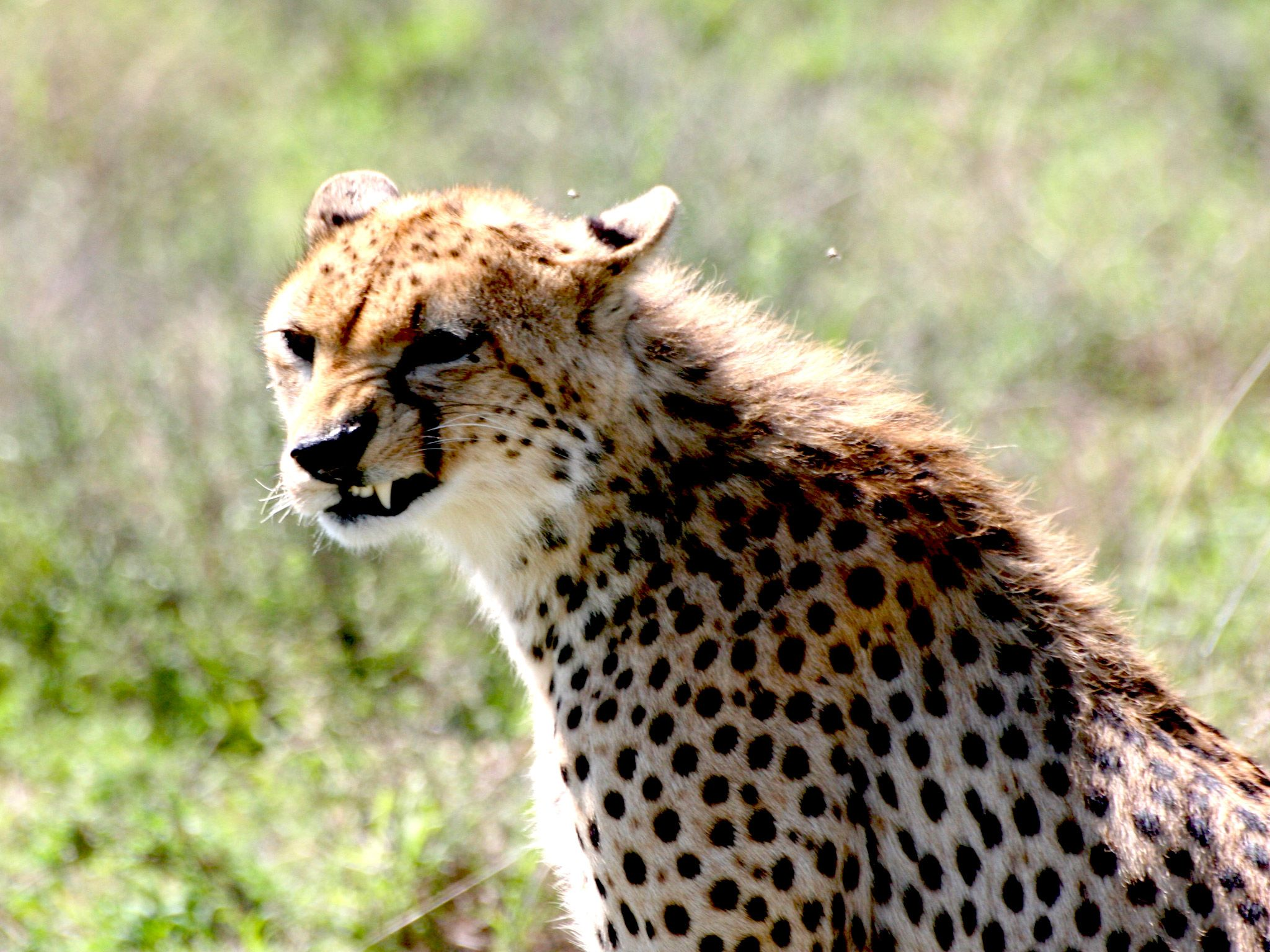 Cheetah shows off it's sharp teeth. This image is from Surviving the Serengeti. [Photo of the day - July 2015]