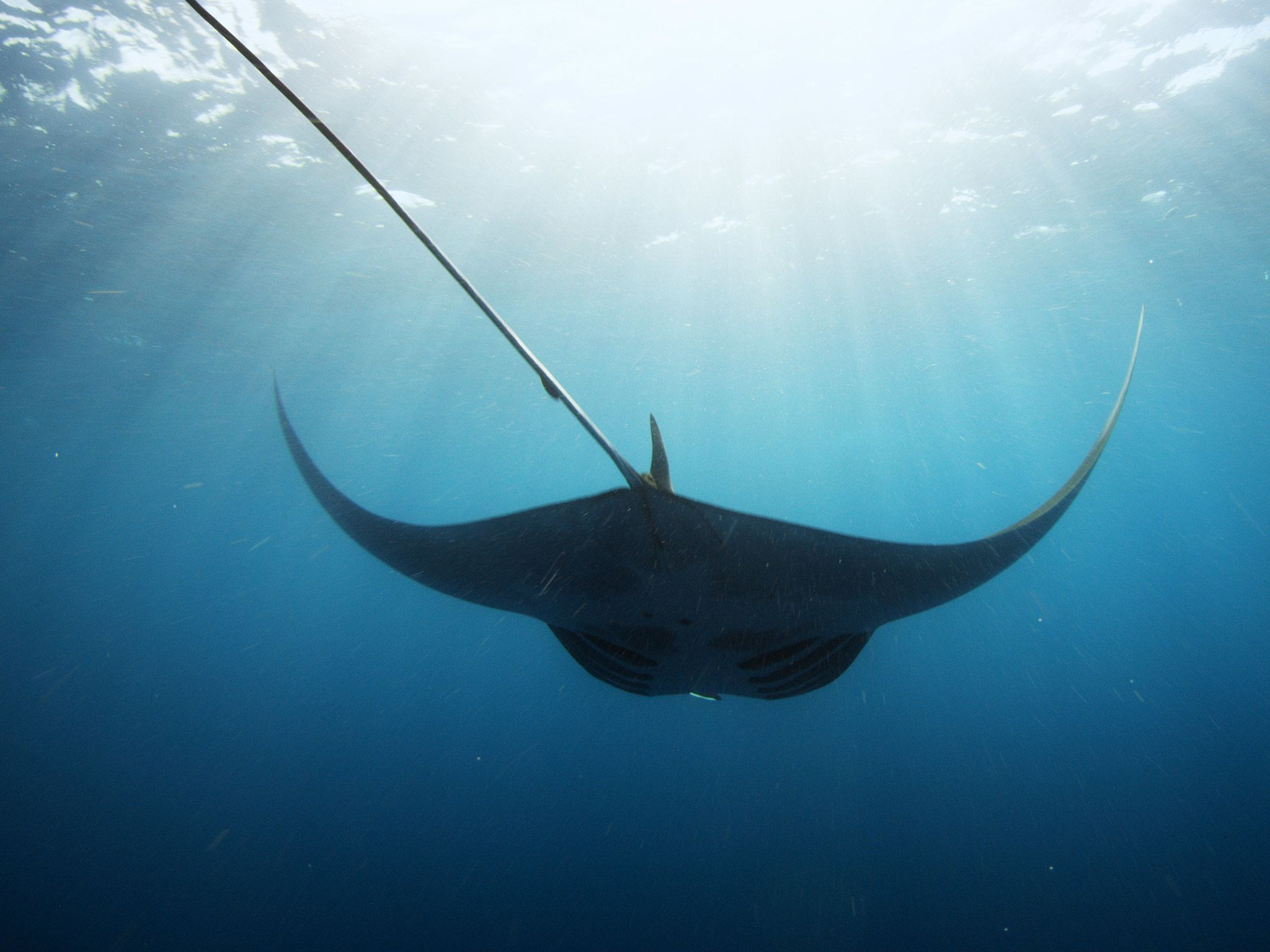 A Giant Manta swims through blue waters. This image is from Wild Baja. [Photo of the day - July 2015]
