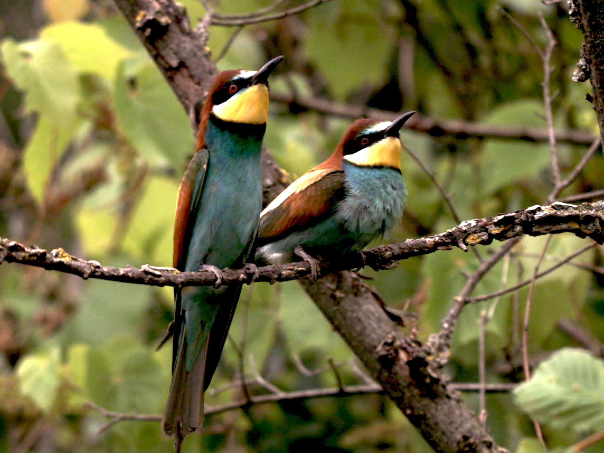 Bee-eaters belong to the most colourful European birds. This image is from Real Angry Birds. [Photo of the day - July 2015]