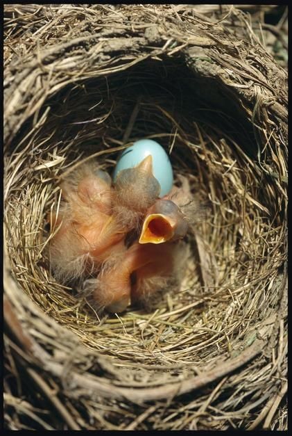 A nest of red-breasted robin chicks. [Dagens foto - maj 2011]