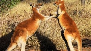 Australia:  Young male kangaroos test... [Photo of the day -  2 СЕПТЕМВРИ 2015]