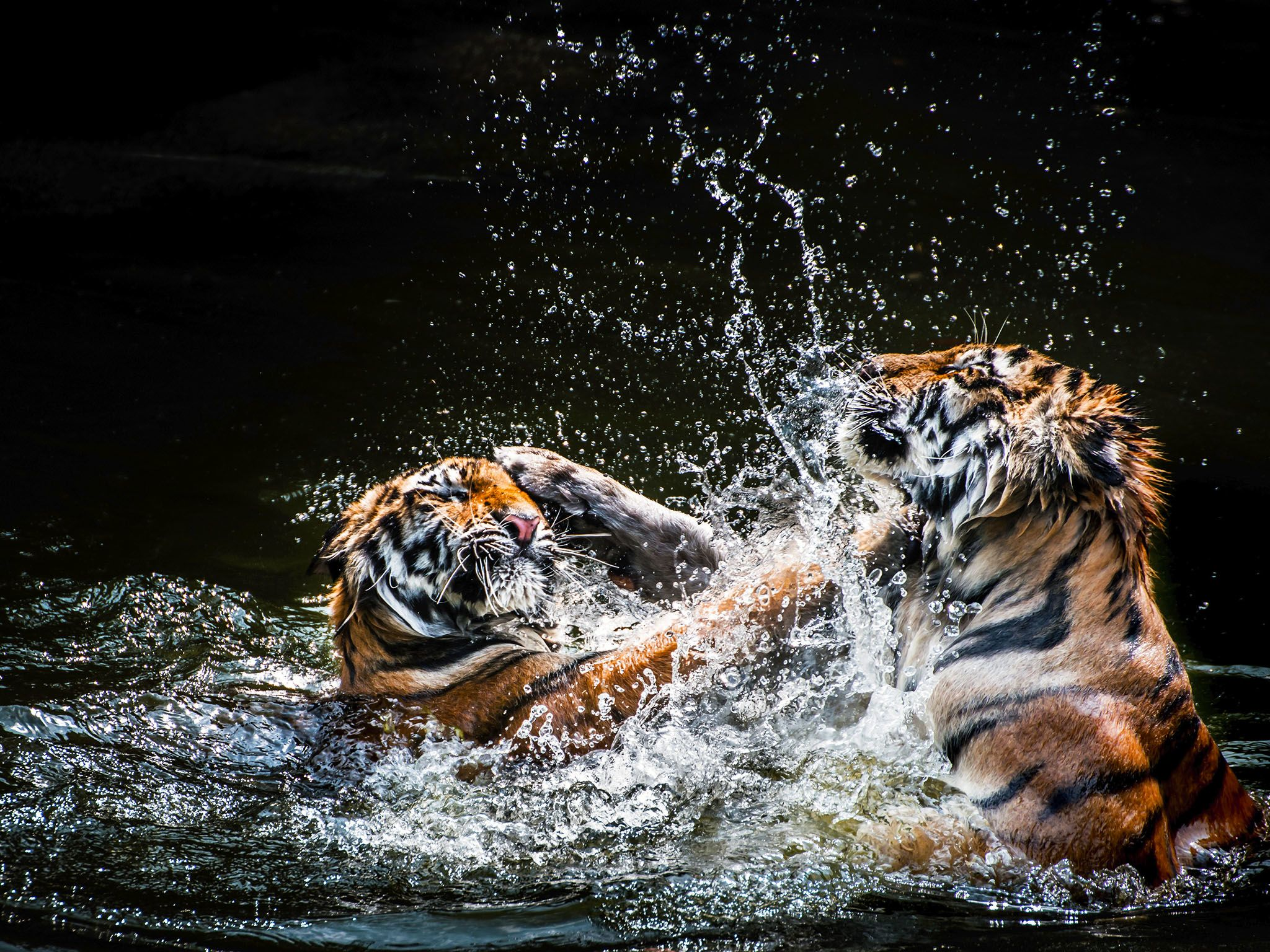 Tigers wrestle in the water. Tigers usually live 8 to 10 years in the wild. This image is from... [Foto del día - septiembre 2015]