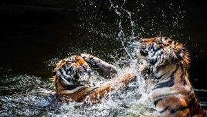Tigers wrestle in the water. Tigers u... [Photo of the day -  6 九月 2015]