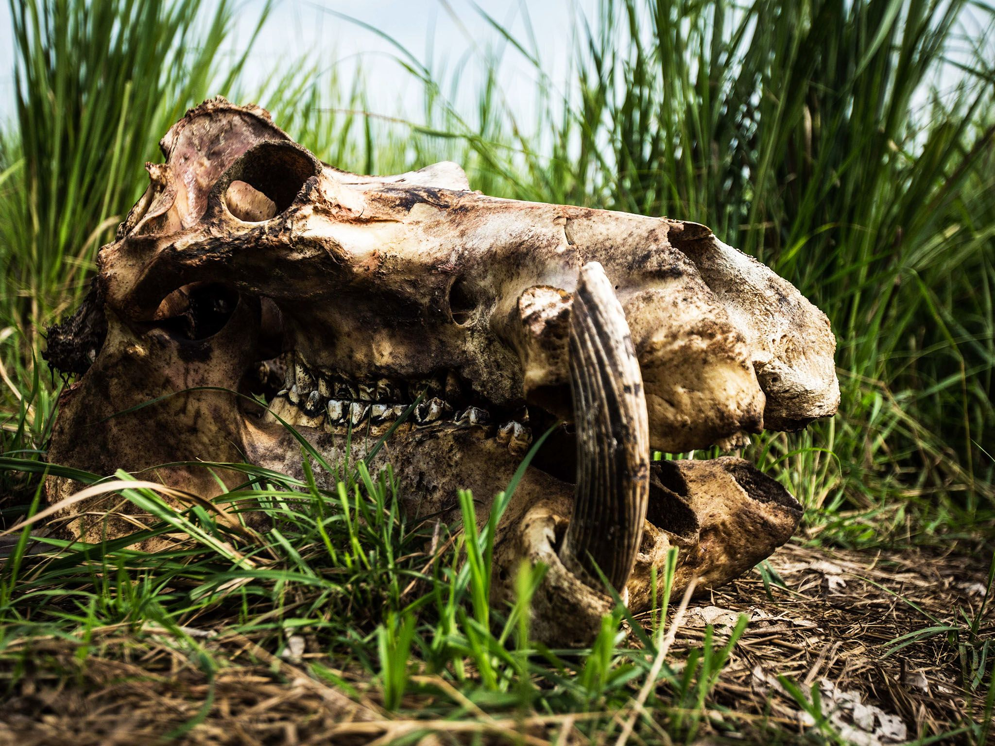 Garamba National Park, Democratic Republic Of Congo: The remains of a hippopotamus that was... [Photo of the day - سپتامبر 2015]