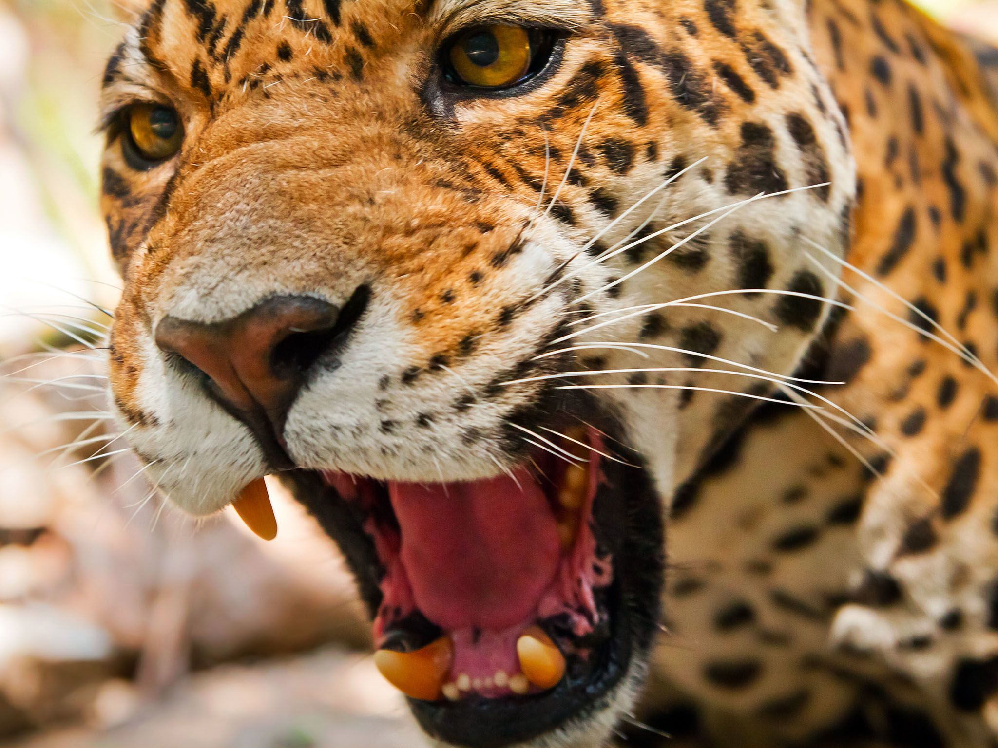 The Jaguar has the most powerful bite, pound for pound, of the big cats. This image is from... [Foto del día - septiembre 2015]