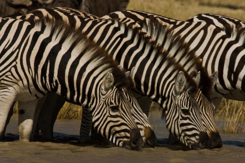 Zebras drinking at a watering hole. [  -  2011]