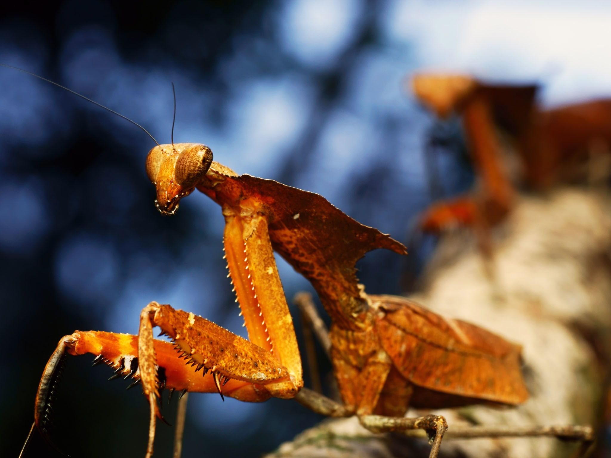 Preying Mantis are thought to be named for the way they hold their front legs… like... [Foto del día - septiembre 2015]