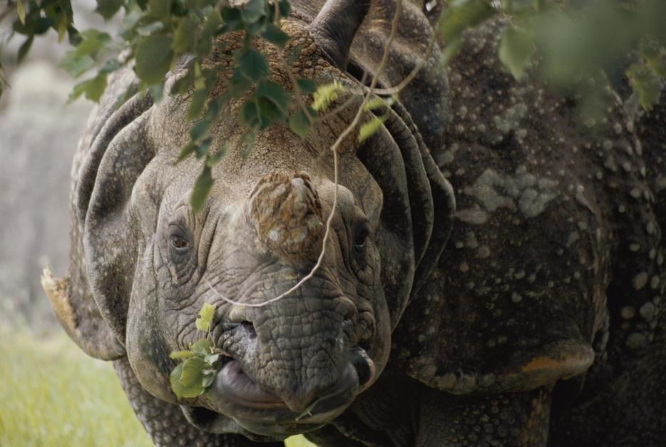 A docile looking Indian Rhino chews on a few leaves in Miami, Florida. [תמונת היום - מאי 2011]