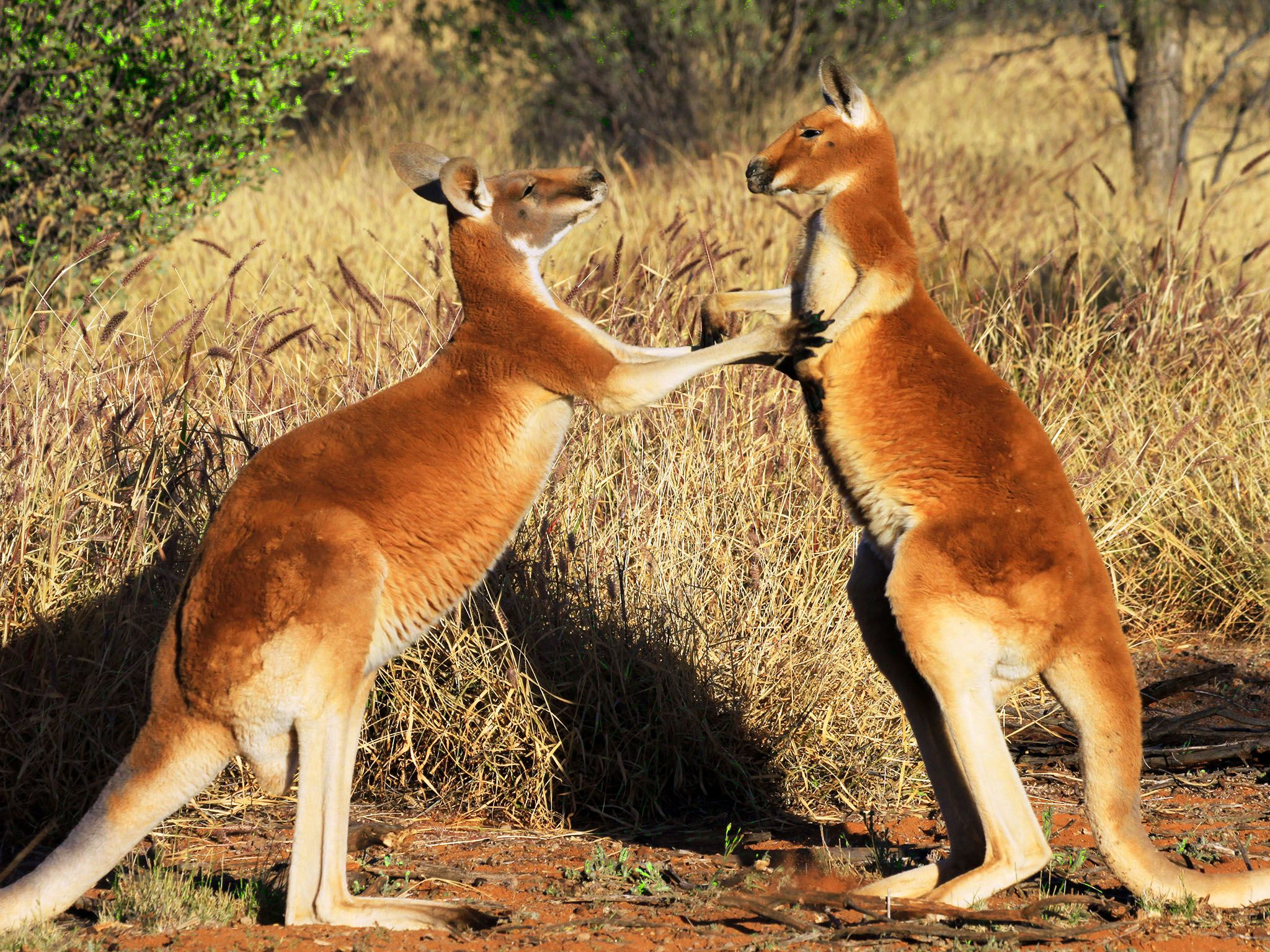 Australia:  Young male kangaroos test their strength and hone their moves with other young males... [Photo of the day - September 2015]