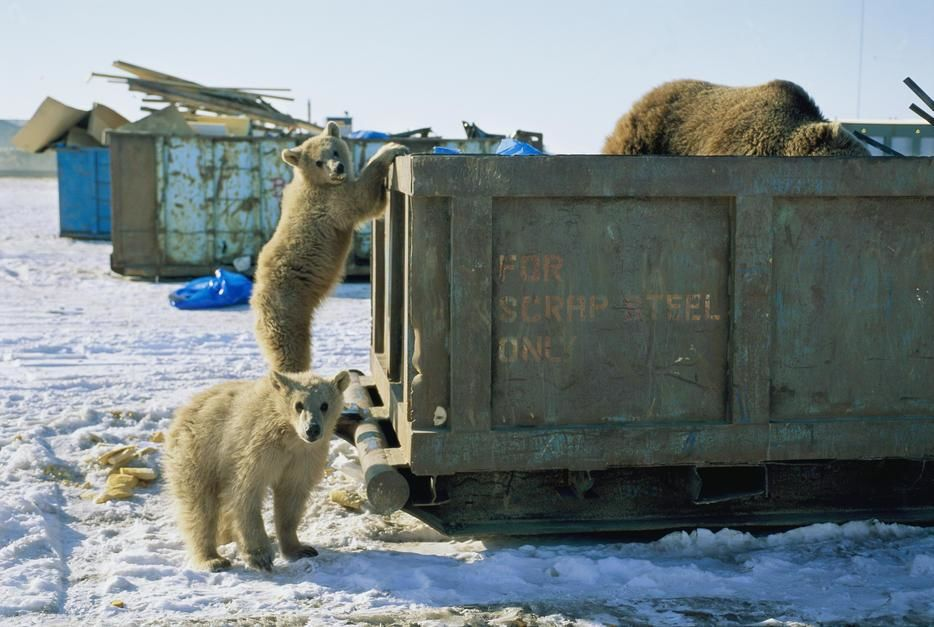 A grizzly and her twin cubs scavenge through a dumpster. [תמונת היום - יוני 2011]