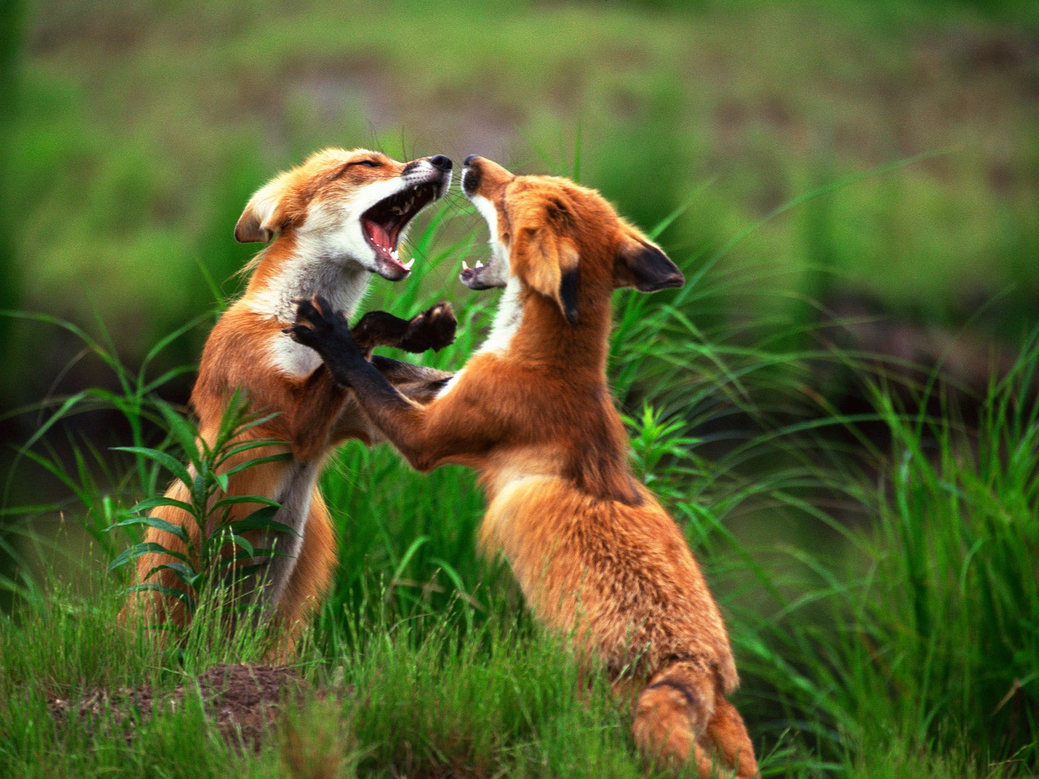Red Foxes are the largest of all the true foxes. Naturally agile, they can clear obstacles of... [Photo of the day - September 2015]
