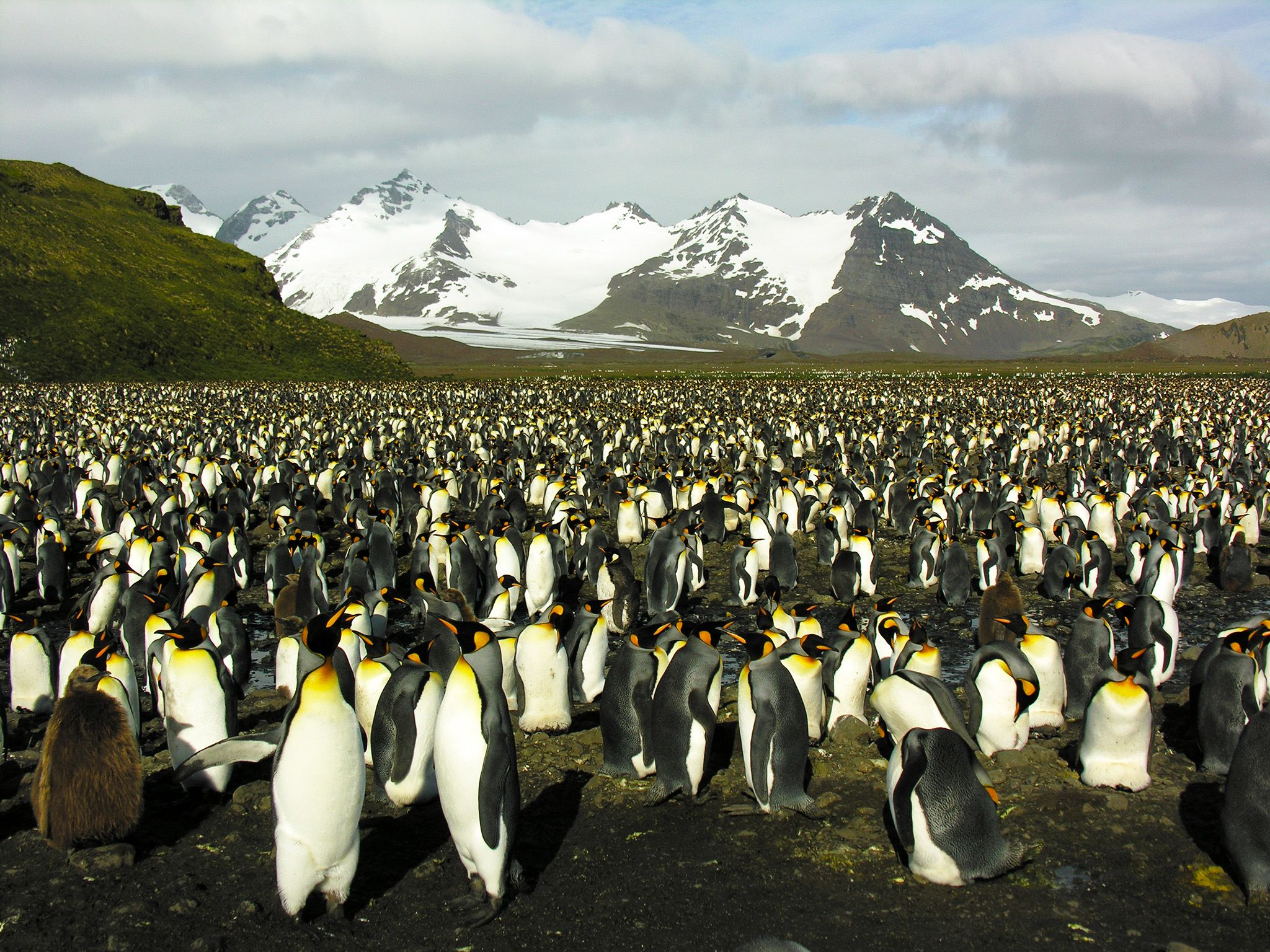 South Georgia: A great number of King Penguins in South Georgia, with snow-capped mountains and... [Photo of the day - October 2015]