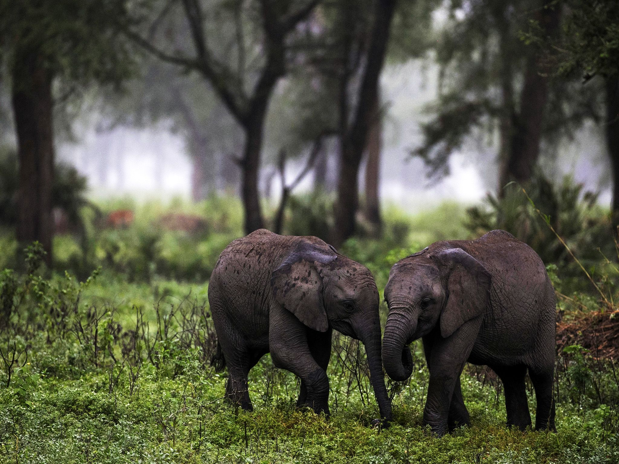 Mozambique: Two calves play in the morning mist. Gorongosa National Park, Mozambique. This image... [Photo of the day - October 2015]
