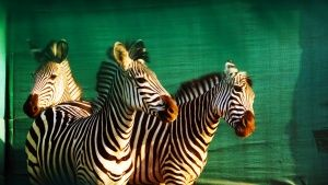 Mozambique: Zebras acclimatize to the... [Photo of the day - OCTOBER 12, 2015]