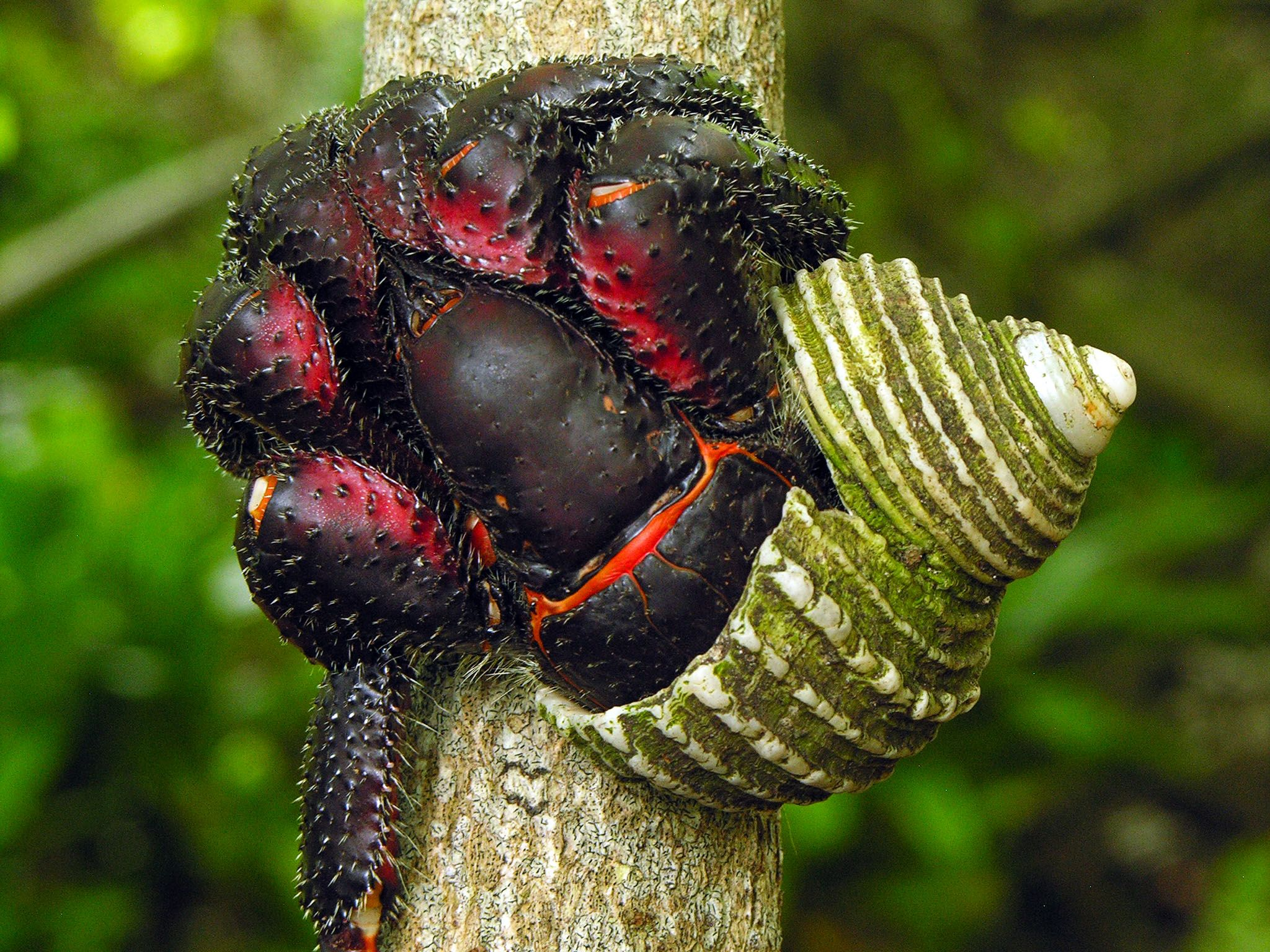 Henderson Island, Pitcairn Islands: A large, dark Hermit Crab climbs a tree. This image is from... [Photo of the day - October 2015]