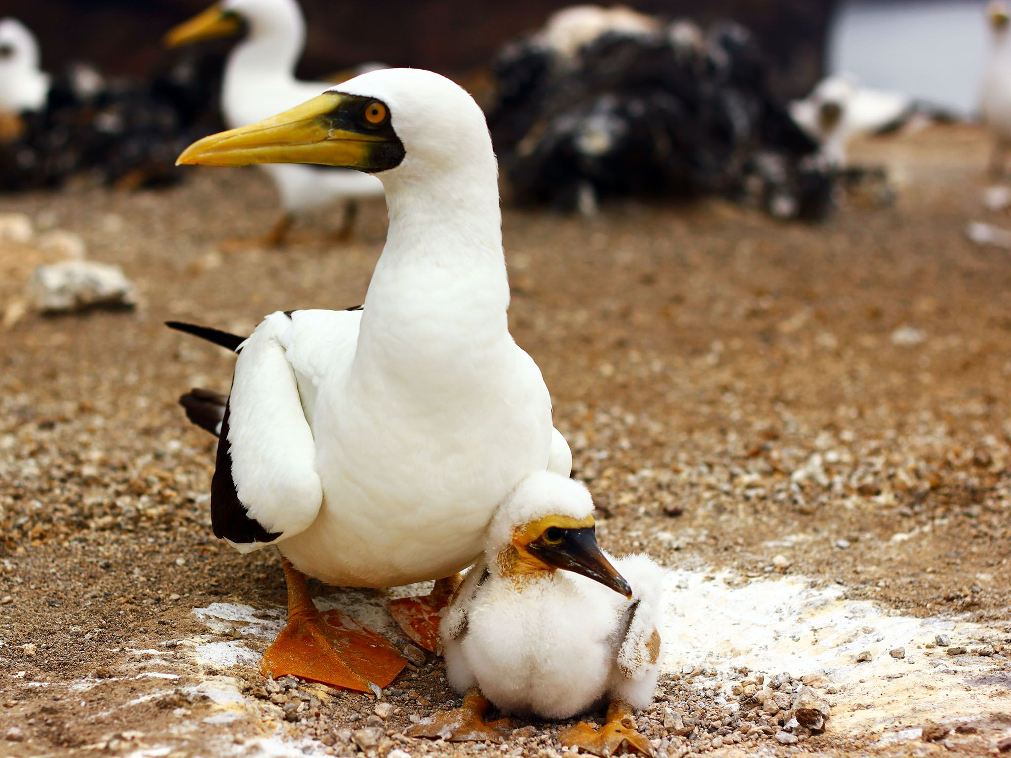 Boatswain Bird Island, Ascension Island: Masked Booby with its chick, amidst rocks - others... [Photo of the day - 十月 2015]