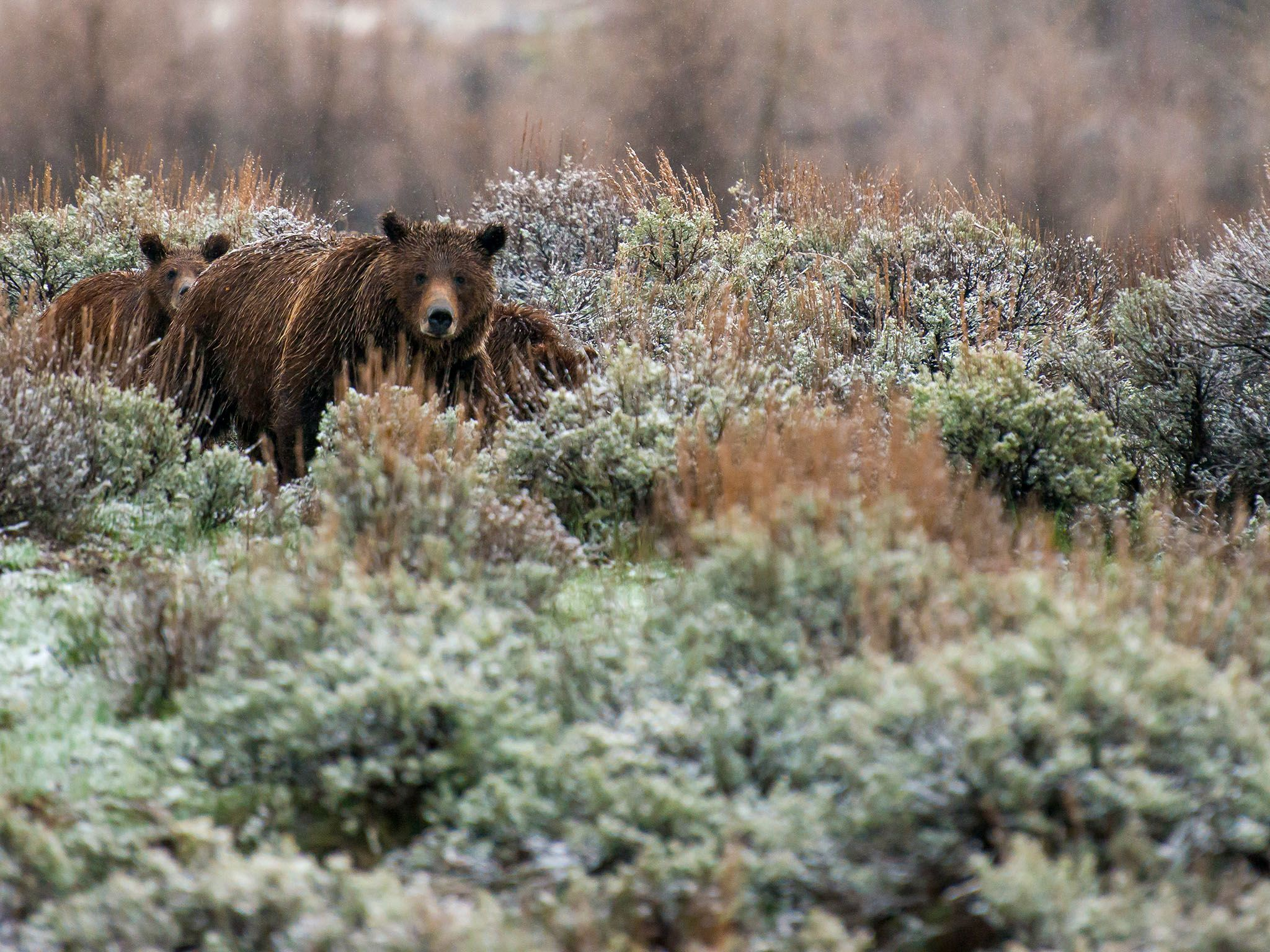 Grand Teton National Park, Wyo.: Bear 399 in sage brush with her two yearling cubs. This image is... [Dagens foto - november 2015]