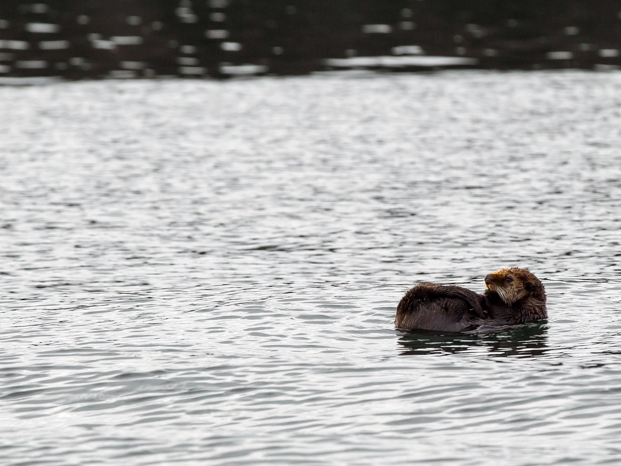 An otter swims on its back near the docks in Port Protection, AK. This image is from Port Protect... [Фото дня - Ноябрь 2015]