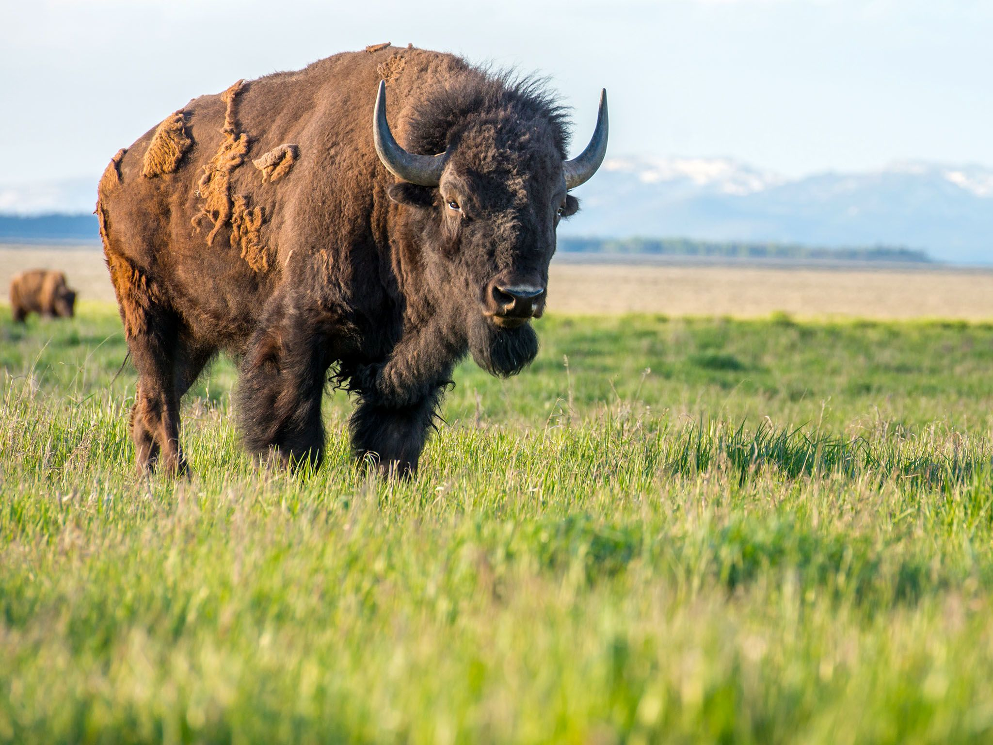 Bison near the Tetons. This image is from Wild Yellowstone. [Photo of the day - 十一月 2015]