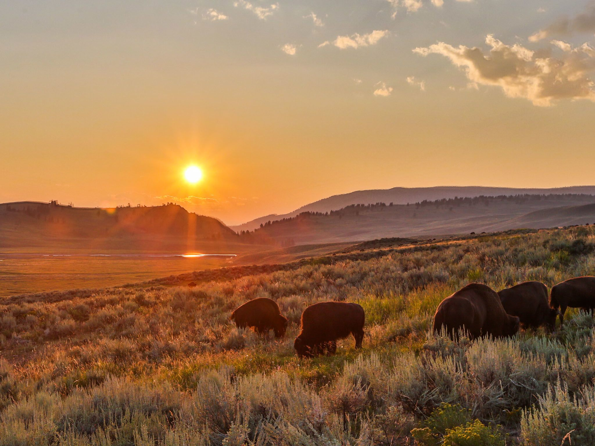 Yellowstone, WYO.: Bison herd in summer evening light during the bison rut. This image is from... [Photo of the day - 十一月 2015]