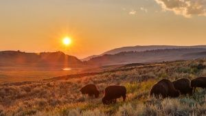 Yellowstone, WYO.: Bison herd in summ... [Photo of the day - 22 NOVEMBER 2015]
