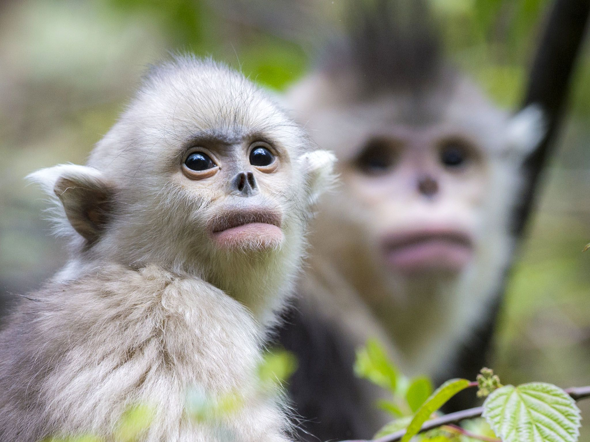 Yearling and mother snub-nosed monkey, Rhinopithecus bieti. This image is from Snub-Nosed Monkeys. [Photo of the day - 十一月 2015]