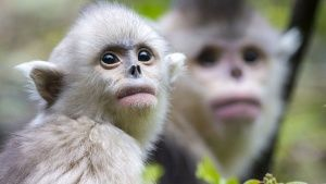 Yearling and mother snub-nosed monkey... [Фото дня - 23 НОЯБРЬ 2015]