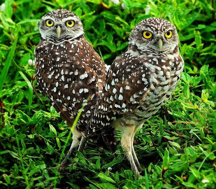 Two burrowing owls. [Foto do dia - Junho 2011]