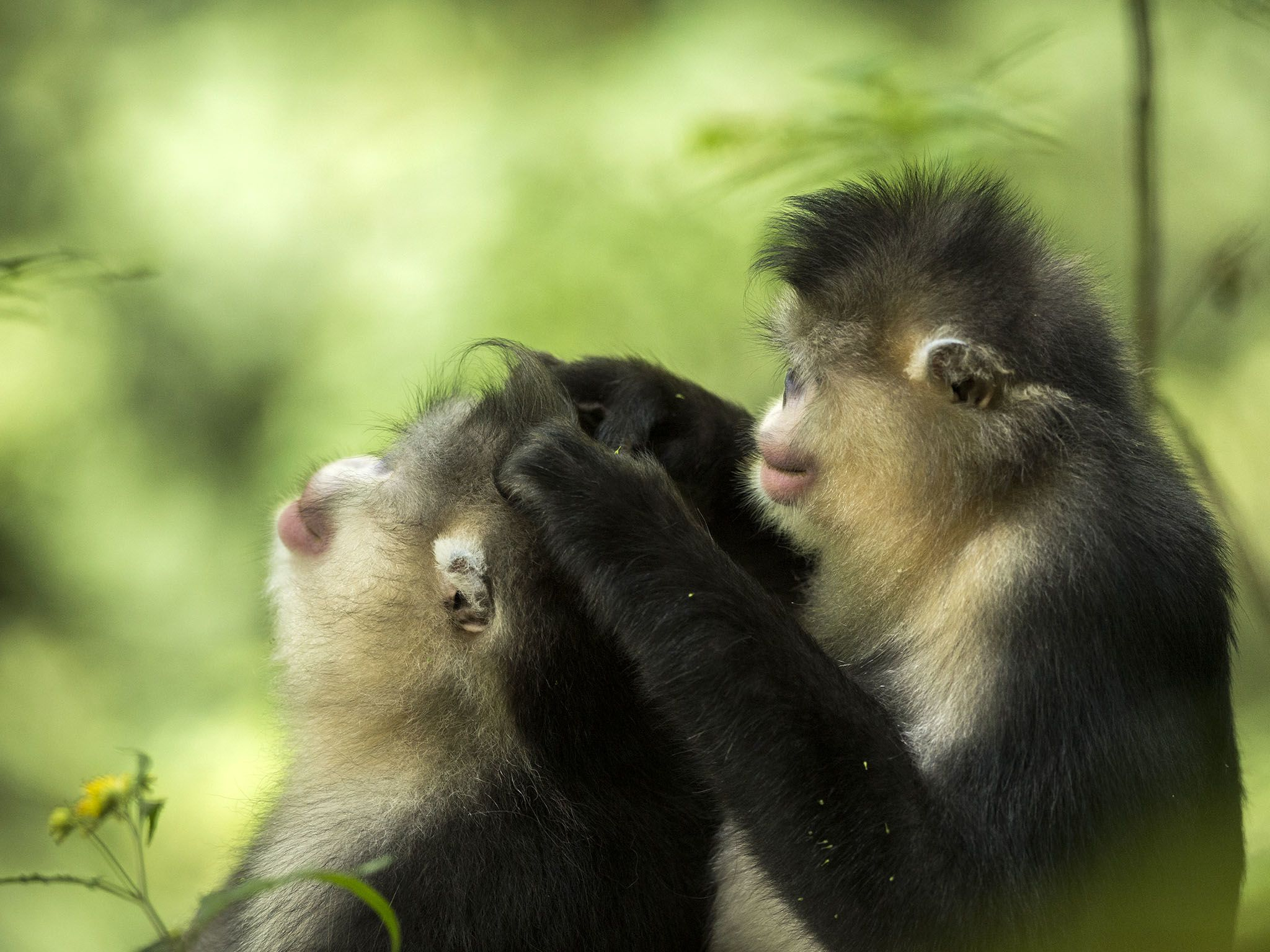 A female grooms the family male snub-nosed monkey, Rhinopithecus bieti. This image is from... [Photo of the day - 十一月 2015]