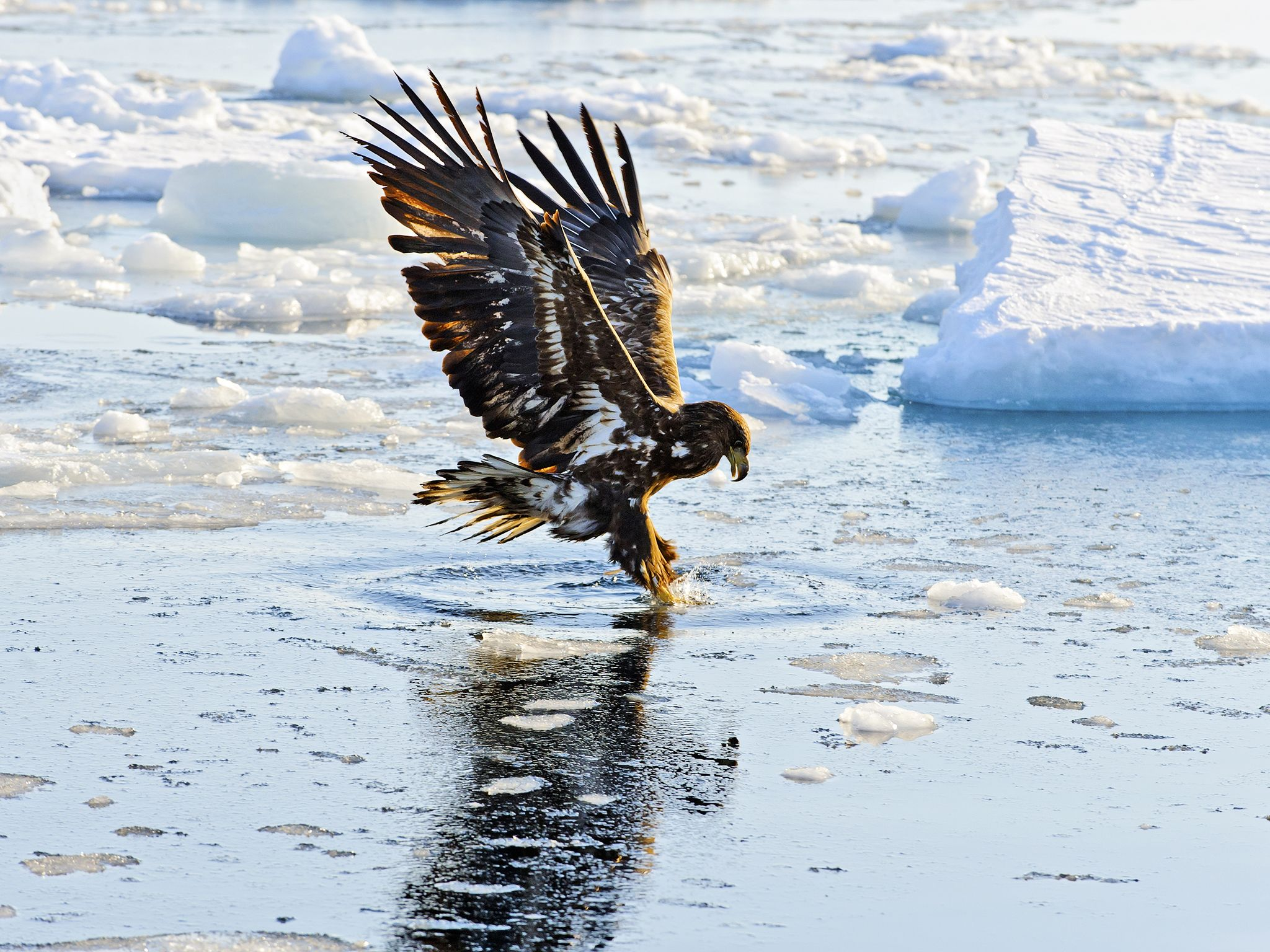 A White tailed eagle (Haliaeetus albicilla) fishing.  This image is from Winter Wonderland. [Photo of the day - دسامبر 2015]