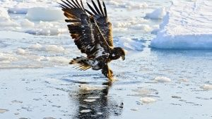 A White tailed eagle (Haliaeetus albicilla) fishing.  This image is from Winter Wonderland. Fotografija dana -  1 decembra 2015