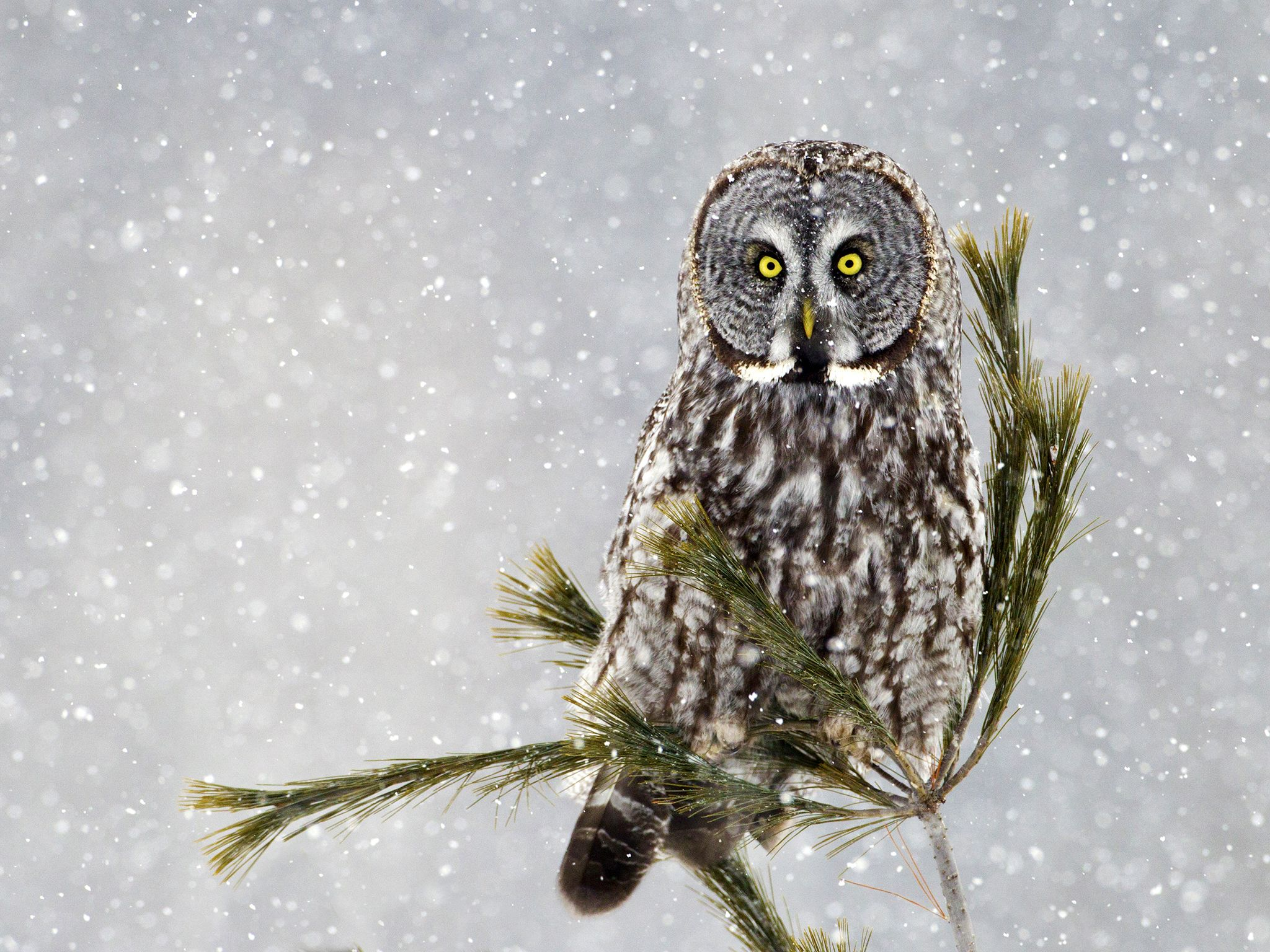 A Great Grey Owl on pine in a snow storm. This image is from Winter Wonderland. [Photo of the day - دسامبر 2015]
