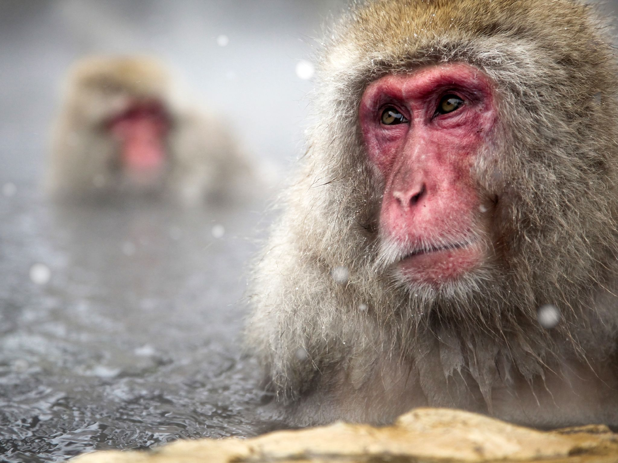 Japanese Macaques in a hot spring.  This image is from Winter Wonderland. [Photo of the day - دسامبر 2015]