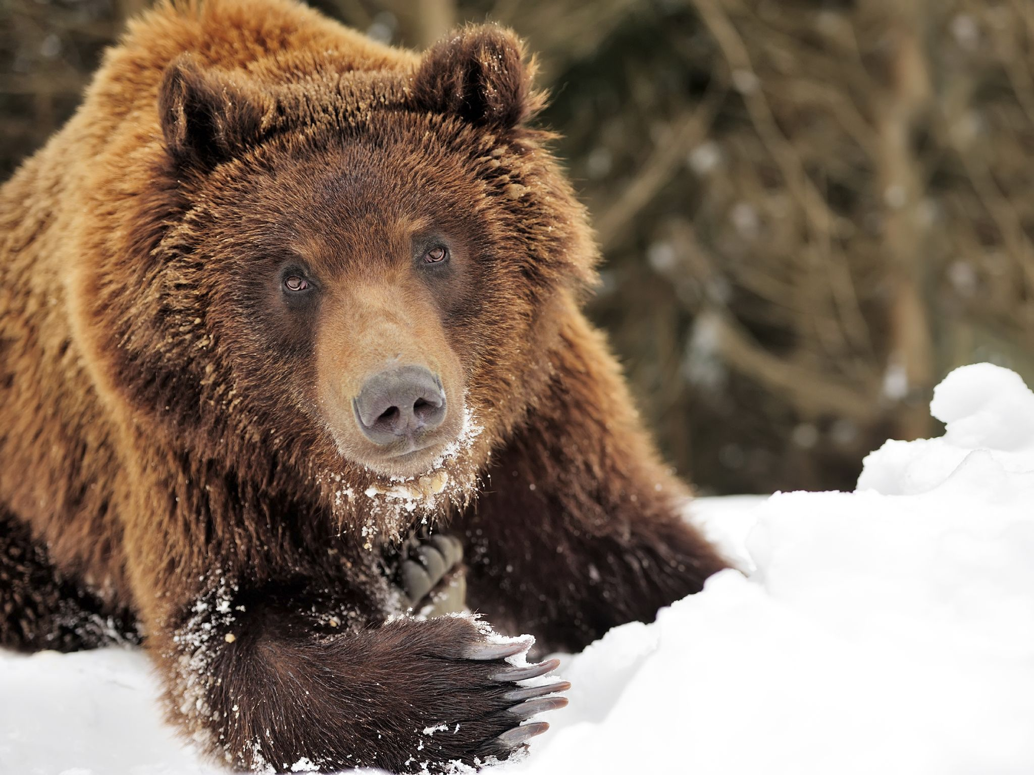 A wild brown bear in a winter forest. This image is from Winter Wonderland. [Photo of the day - دسامبر 2015]