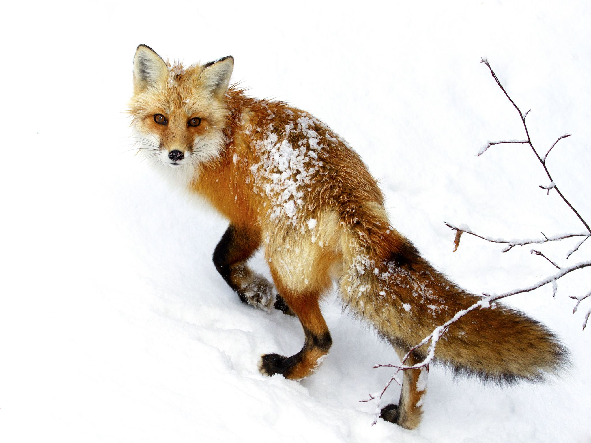A Red fox in snow. This image is from Winter Wonderland. [Photo of the day - دسامبر 2015]