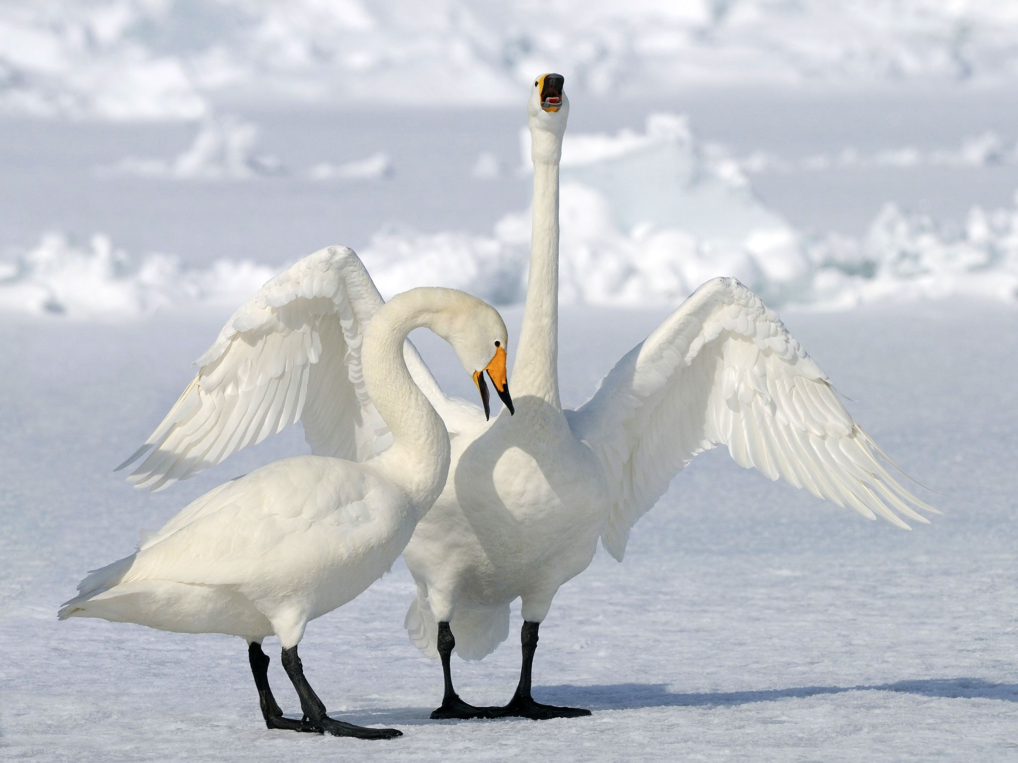 Whooper swans. This image is from Winter Wonderland. [Photo of the day - دسامبر 2015]