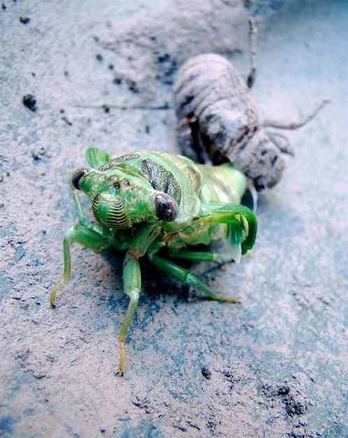 Leaving behind the shell of its former self, this cicada's new wings are still rolled up. [Photo of the day - ژوئن 2011]