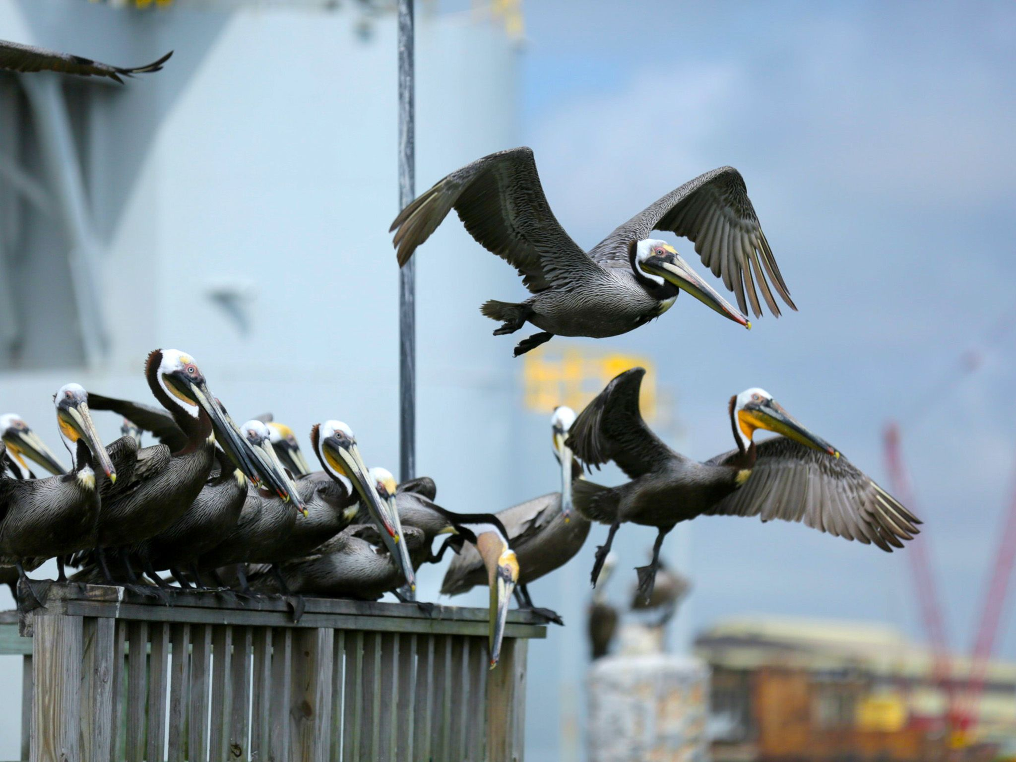 Galveston, Texas: Brown pelicans flying. This image is from Big Fish Texas. [Photo of the day - دسامبر 2015]
