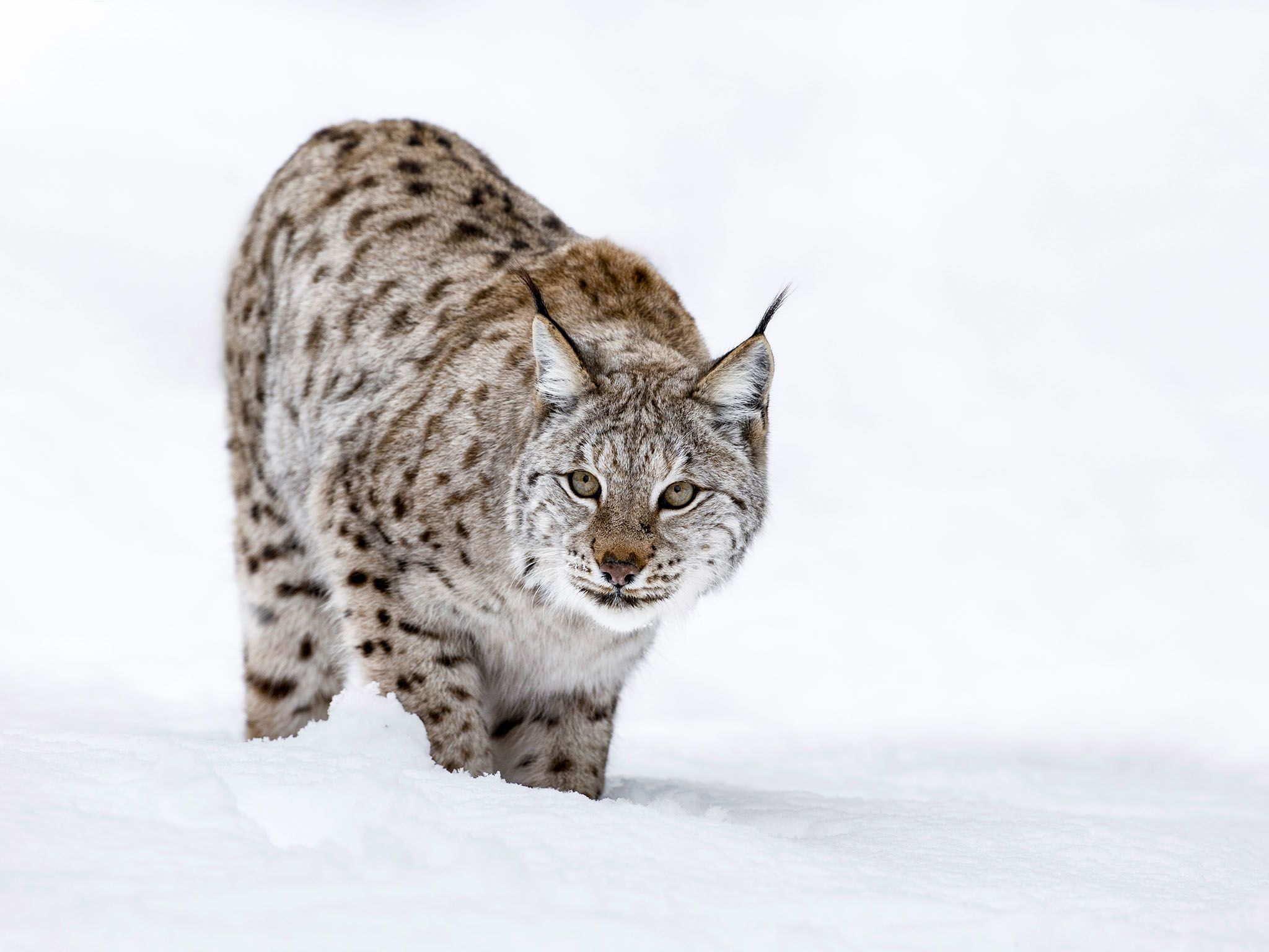 A Lynx in winter snow. This image is from Winter Wonderland. [Foto del día - diciembre 2015]