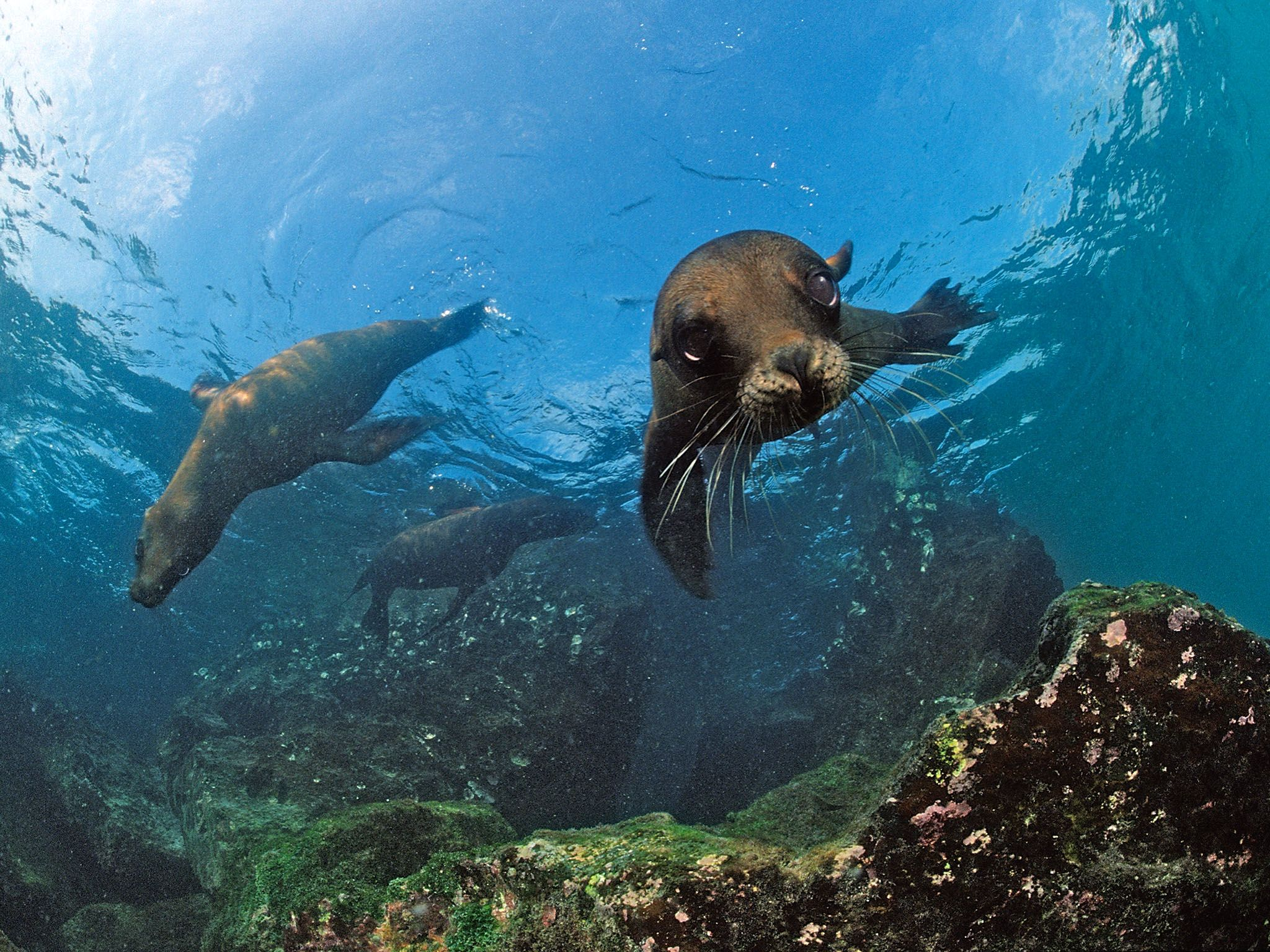 South Africa- South African Fur Seals swimming (Arctocephalus pusillus pusillus). These seals... [Photo of the day - ژانویه 2016]