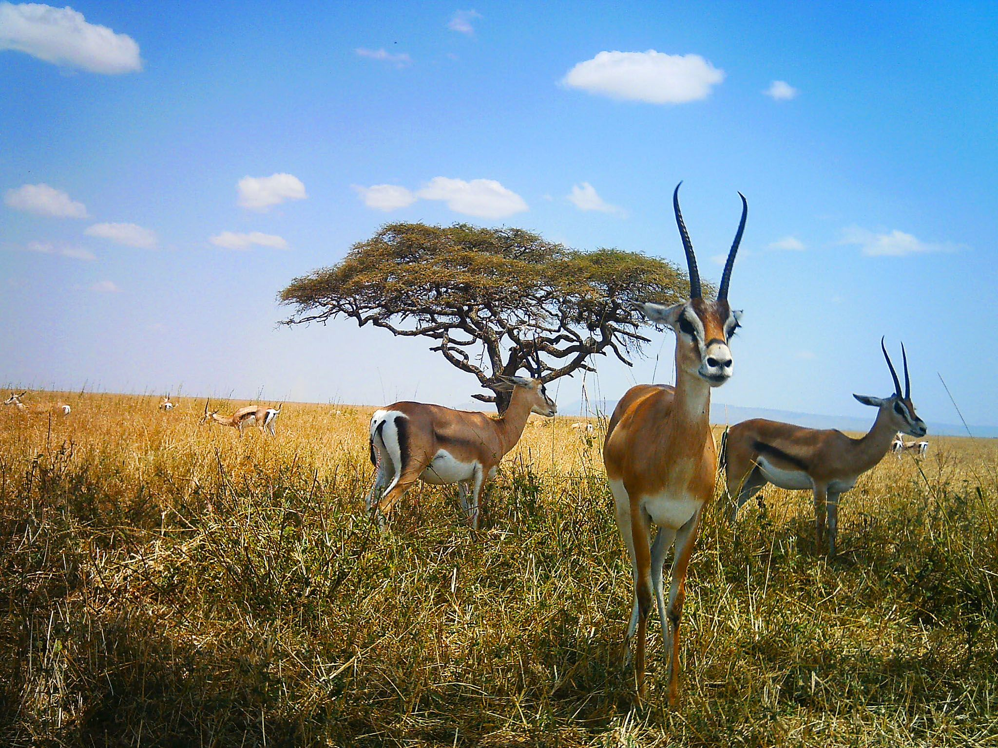 Serengeti National Park, Tanzania: Group of impalas in front of a tree. This image is from... [Photo of the day - ژانویه 2016]