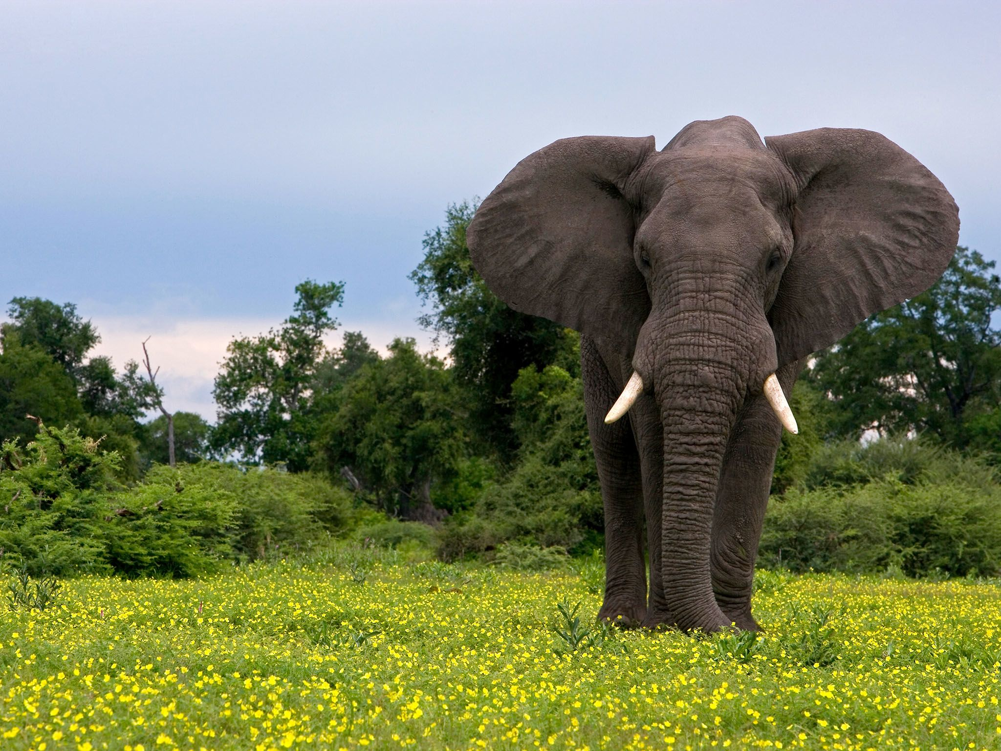 An elephant stands amongst yellow flowers and grass during the green season in Northern... [Photo of the day - ژانویه 2016]